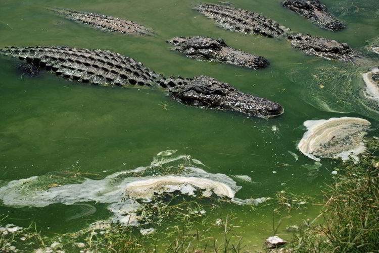 An image of alligators in the animal sanctuary at Wooter's Everglades Airboat Tours.