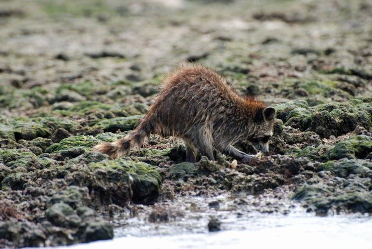 An image of a raccoon seen on a Florida Everglades kayak tour.