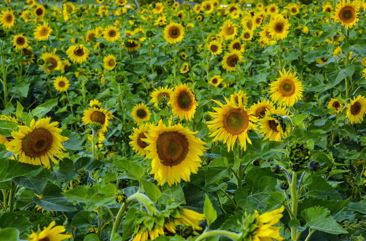 An image of a field of Sunflowers at the Bowden Sunmaze in Bowden, Alberta Canada.