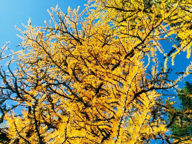 A close up image of a larch tree along the Larch Valley Trail in Banff National Park, Alberta, Canada.