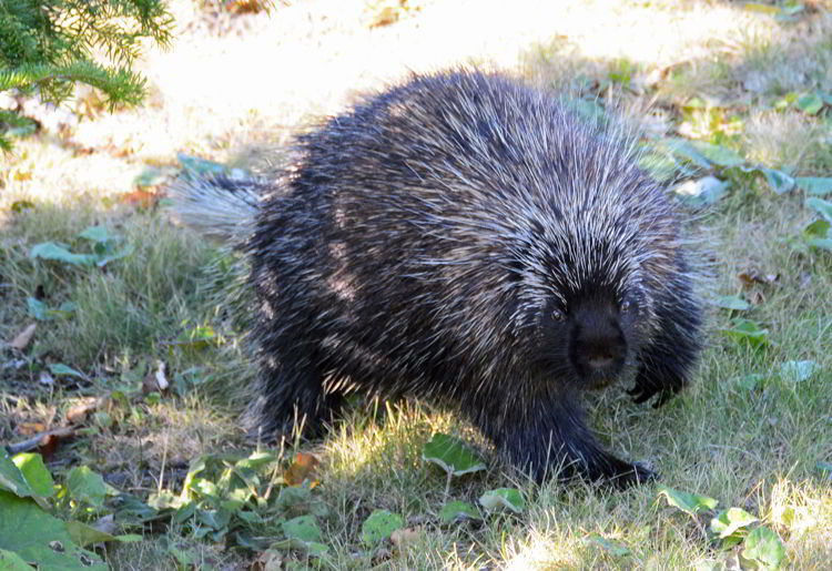 An image of a porcupine.