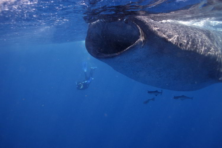 An image of a person snorkeling with Whale Sharks near Isla Mujeres.