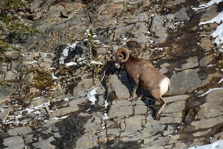 An image of a bighorn sheep ram climbing up a rock face in Jasper National Park, Alberta, Canada - Jasper Wildlife watching.
