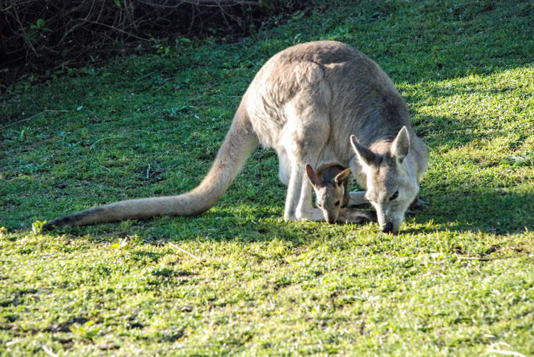 An image of a female kangaroo with a baby in her pouch in Queensland, Australia.