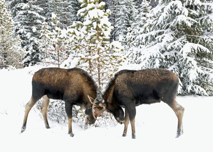 An image of two bull moose fighting in Jasper National Park, Alberta, Canada - Jasper Wildlife viewing.