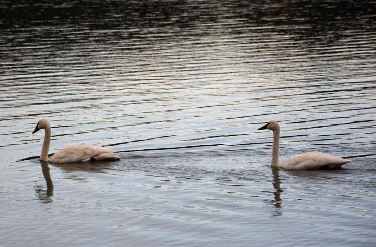 An image of two swans.