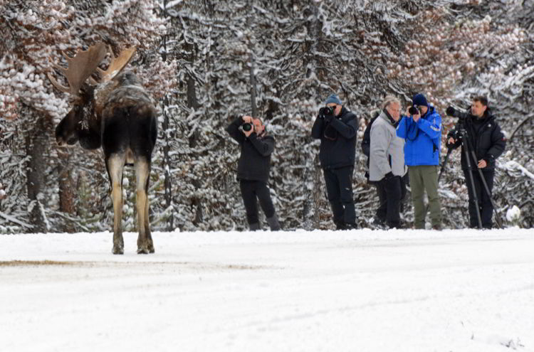 An image of people photographing a bull moose in Jasper National Park in Alberta, Canada - Jasper wildlife watching.