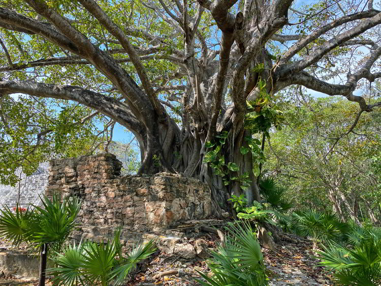 An image of a huge tree at the El Meco Archaeological site in Cancun, Mexico.