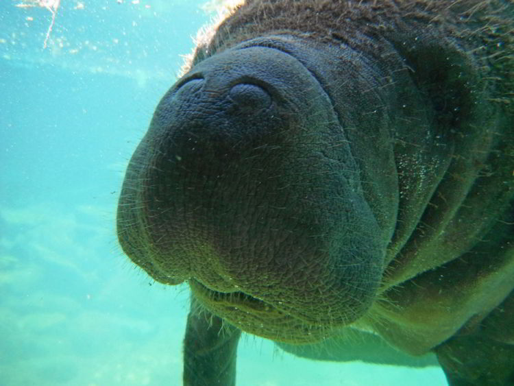 An image of a manatee at Xcaret Park in Mexico.