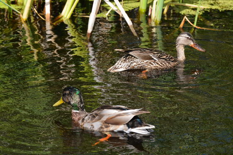 An image of a mating pair of mallard ducks at Lois Hole Provincial Park in Alberta, Canada - Birds in Alberta.