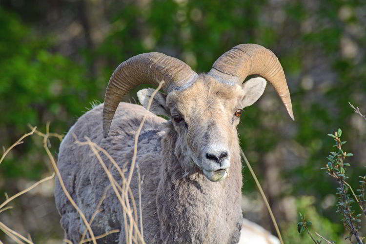 An image of a bighorn sheep.