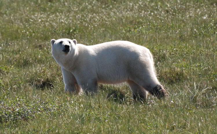 An image of a female polar bear near Churchill, Manitoba, Canada in summer. Polar bear watching.