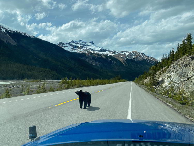 An image of a black bear on the Icefields Parkway in Jasper National Park in Alberta, Canada.