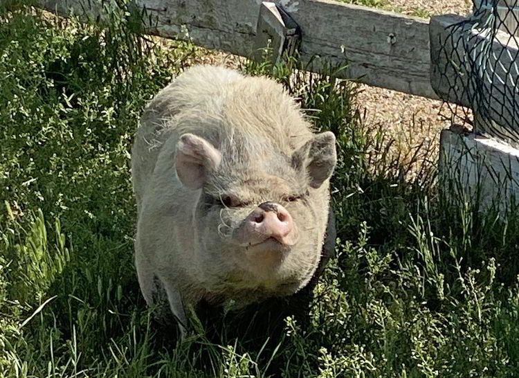 An image of a pig at Echo Dale Regional Park in Medicine Hat, Alberta, Canada.