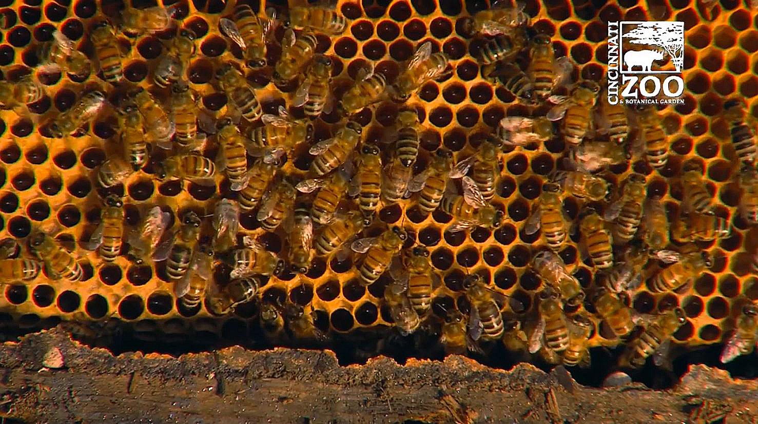 50,000 honeybees removed from wall of garage, taken to zoo