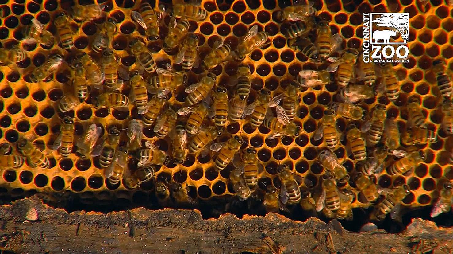 honeybees Cincinnati Zoo