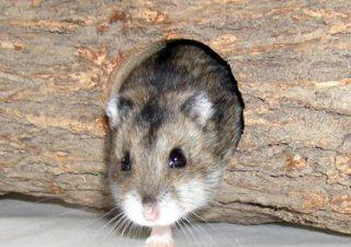 Hamster Gouby notre mascotte