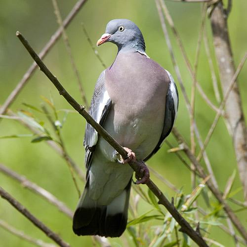 Jeu concours quizz oiseaux des jardins wanimobuzz - Se debarrasser des pigeons ...