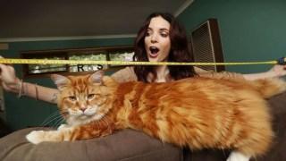 Omar chat le plus grand du monde