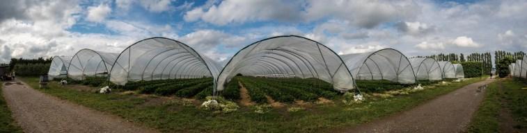 Strawberry farm in Greve