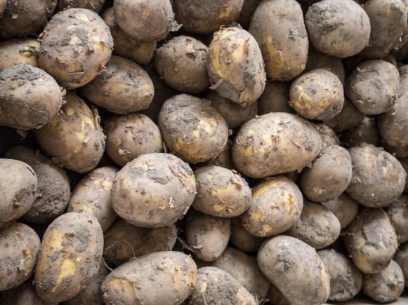 Ventegodtgaard – potatoes
