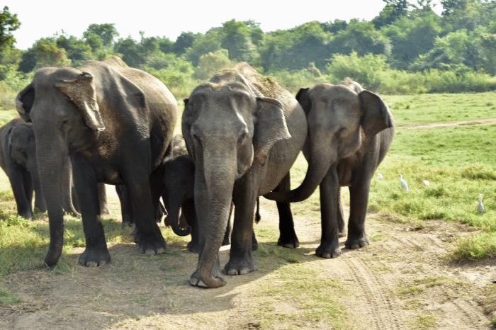 ontmoeting wilde olifanten Minneriya NP Sri Lanka