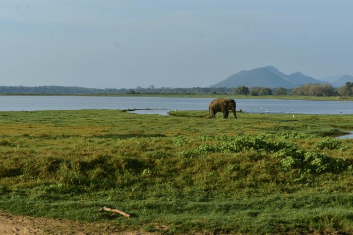 Olifant Minneriya NP Sri Lanka