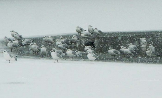 Heronry Pond gulls