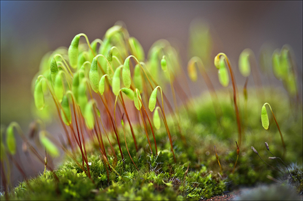 """© Geoff Wilkinson, who writes on Wanstead Daily Photo: """"Spotted this moss growing on a garden wall in Wellesley Road and just had to capture it.  I thought it looked like a lilliputian forest.  If anyone knows what it is called I would be very pleased to know. """""""