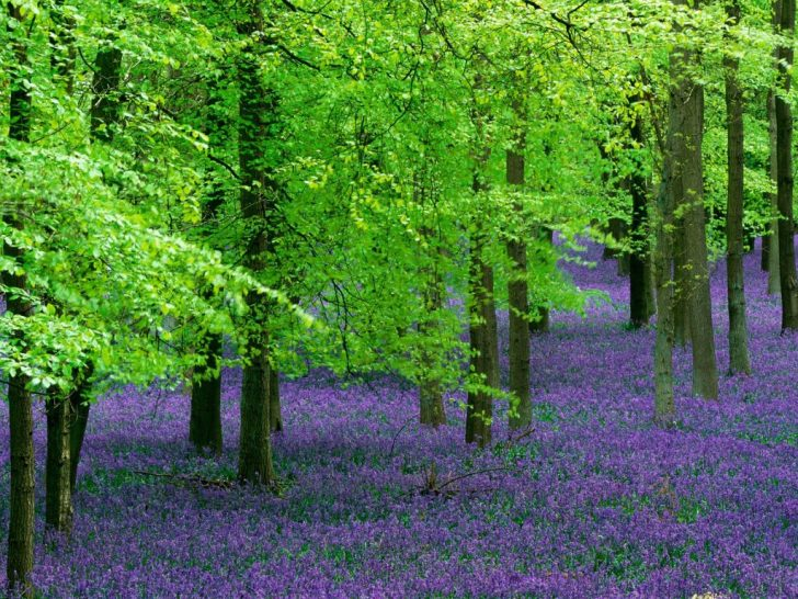 Blue Bells and Beech Trees, England
