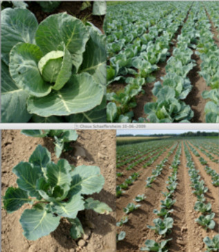 Test at biodynamic farm in 2009. The cabbages from the magnetoculture treated field were in between 6 and 9 kgs, the ones from untreated fields between 2 and 5 kg. The total yield of the treated field was more then threefold the one of the other fields. Photo from 10 june 2009