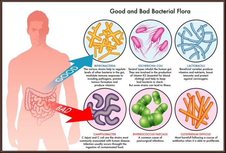 darmbacterien goed en slechte