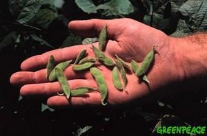 Genetisch gemanipuleerde Soja