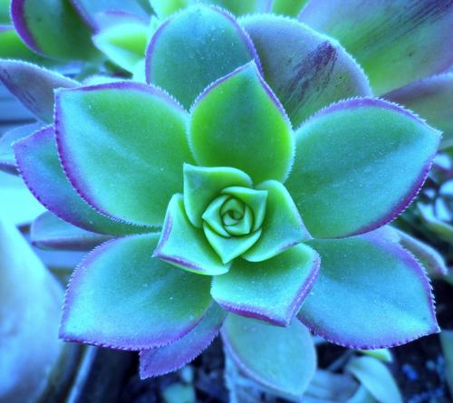 lotus leaf groen
