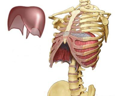 Het is niet zo verwonderlijk wanneer we het middenrif het tweede hart noemen.
