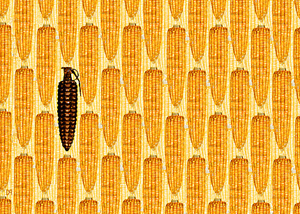 monsanto-s-gmo-corn-threatens