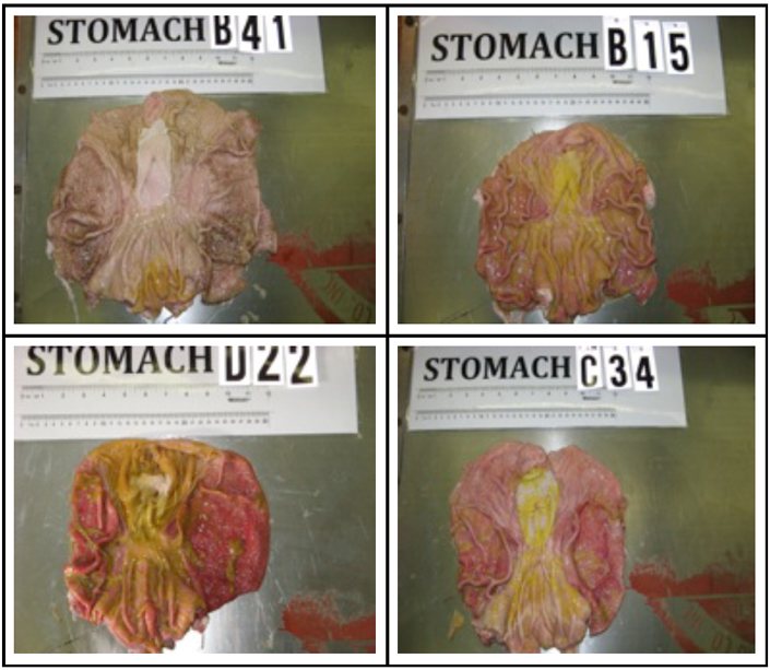 Below are photos of the stomachs of the pigs. Different levels of stomach inflammation found (clockwise from top left): nil (from a non-GM-fed pig, number B41), mild (from a non-GM-fed pig, number B15), moderate (from a GM-fed pig, number C34) and severe (from a GM-fed pig, number D22).