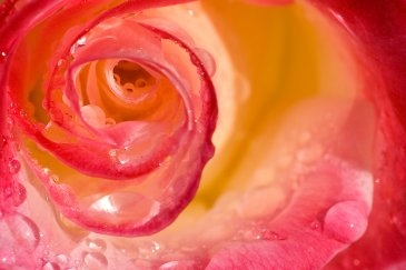 roos dauw