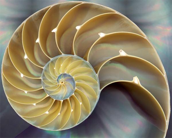 De Nautilus-schelp is maar een van de ontelbare voorbeelden uit de natuur, waaruit blijkt dat de natuur de fibonacci-reeks als vanzelfsprekend gebruikt!