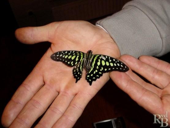 De tweede vlinder die verschijnt, bijna onder de handen van Robbert's vriend Roy.