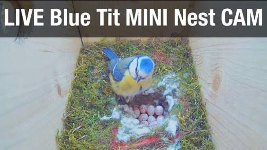 LIVE Blue Tit Nest Cam «Mini & Pip» – Recke, Germany