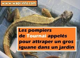 Les pompiers de Tournai appelés pour attraper un gros iguane dans un jardin