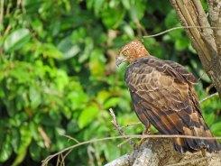 Kinabatangan River Safari - Birds