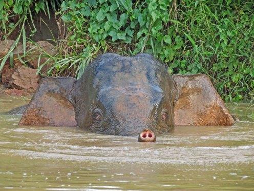 Kinabatangan River Safari - Elephant