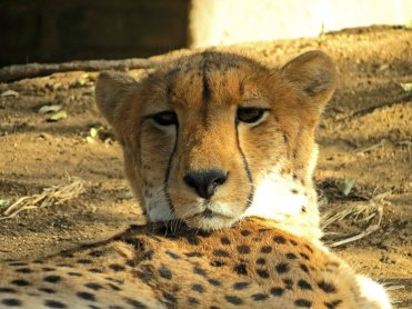 Cheetah, Moholoholo rehabilitation centre, South Africa