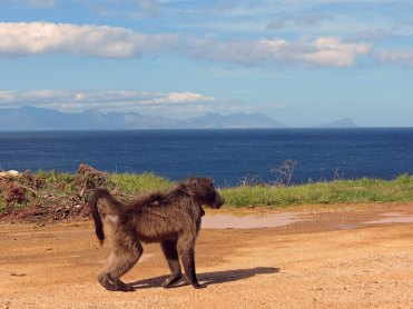 Baboon Cape of good hope South Africa