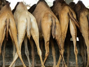 Camel Research Center, Bikaner, India