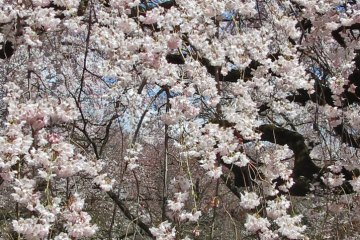Cherry Blossoms Shinjuku Gyoen