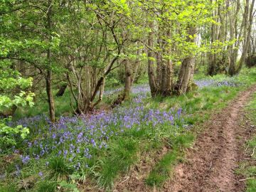 Bluebells in the woodland