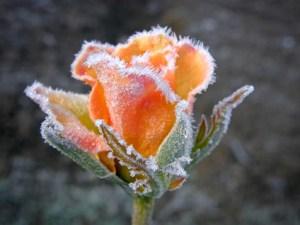 8589130471037-frozen-flower-wallpaper-hd[1]